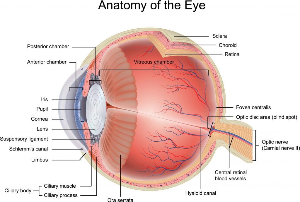 Augenoptiker Optiker Krauss - Anatomie des Auges